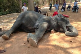 Sambo an elephant died after collapse at Angkor