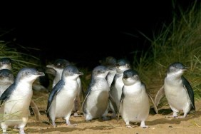 Phillip Island Penguin Parade Eco Tour