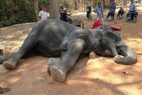 Sambo một con voi đã chết sau khi ngã quỵ tại Angkor