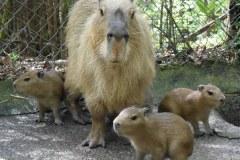 3 bé chuột lang nước sinh ra tại Nagasaki Bio Park